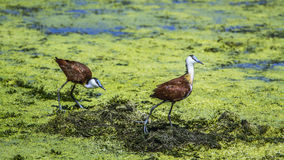 African jacana in Kruger National park, South Africa Royalty Free Stock Photo