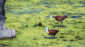 African jacana in Kruger National park, South Africa Royalty Free Stock Photography