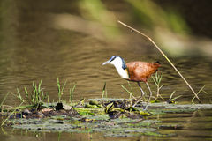 African jacana in Kruger National park Stock Photography