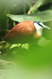 African jacana Royalty Free Stock Image