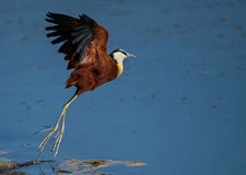 African jacana lift off. This jacana was photographed during take off Stock Photos