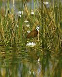 Lookout Fish Jacana after you in the water lilies stock images