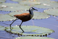 African jacana plod along on water plants chasing insects to eat Stock Photo