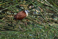 African Jacana in the reeds. In the Kruger National Park Royalty Free Stock Photo