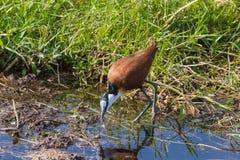 African Jacana on the Swamp. Amboseli. African Jacana on the Swamp. Amboseli, Kenya Stock Images