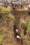 The great migration. Bank of the Mara river. Kenya. Africa Royalty Free Stock Images