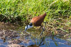 African Jacana on the swamp. Amboseli, Kenya. royalty free stock photos