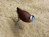 African jacana walk in the sand Stock Photos