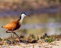 African jacana on shore royalty free stock photography