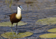 African Jacana walking on Lilly Stock Image