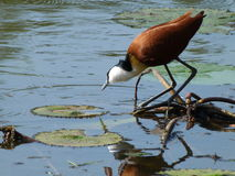 African Jacana. This Jacana was photographed  the  Kruger National  Park in  South Africa Royalty Free Stock Photography