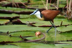 African jacana on water lilies Royalty Free Stock Photography