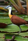 African jacana on water lilies Royalty Free Stock Image