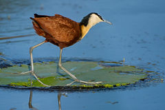 African jacana on water lily leaf. This jacana was photographed wading through the water Stock Photos