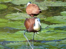 African Jacana. These Jacana were photographed  the  Kruger National  Park in  South Africa Royalty Free Stock Images