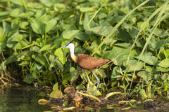 African Jacana in the Wetlands Royalty Free Stock Photography