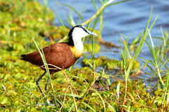 African jacana in Chobe national park Royalty Free Stock Image