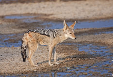African Jackal. A black-backed jackal comes to quench its thirst stock images