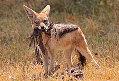 African Jackal Royalty Free Stock Images
