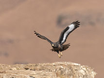 African Jackal buzzard coming in to land Royalty Free Stock Photo