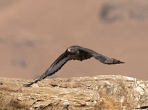 African Jackal Buzzard flying low over rocks Stock Images
