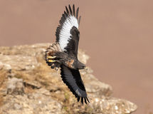 African Jackal Buzzard flying past cliff face Stock Photos