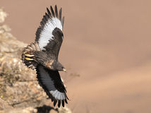 African Jackal Buzzard flying past rock face Royalty Free Stock Photo