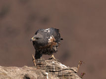 African Jackal Buzzard ona rock lowering its head and looking to the side Royalty Free Stock Photo