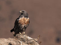 African Jackal Buzzard perched on a rock looking to the side Royalty Free Stock Images