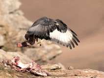 African Jackal Buzzard taking off with meat on a bone Royalty Free Stock Images