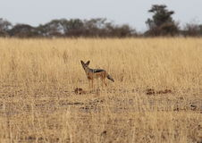 African jackal Stock Photo