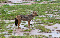 African Jackal stands on the ground. On background of grass Royalty Free Stock Photography