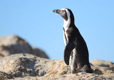 African Jackass Penguin. As photographed near Cape Town Royalty Free Stock Photography