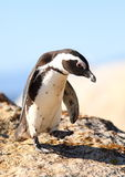 African Jackass Penguin Stock Photo