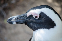 African or Jackass Penguin. Also known as black-footed penguin Royalty Free Stock Photography
