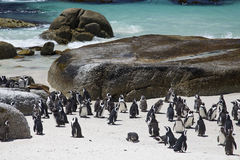 African Penguin Colony by the Beach Stock Photos