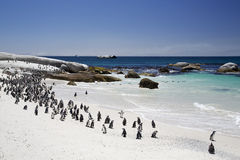 African Jackass Penguin Colony by the Beach Stock Image