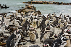 African Jackass Penguins Royalty Free Stock Photo