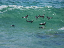 African Jackass Penguins swimming in ocean, Boulders Cape Town. Group of African Jackass Penguins swimming together, surfing a wave off Boulders, Cape Town Royalty Free Stock Images
