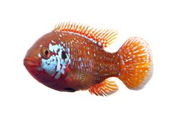 African jewelfish Stock Photography