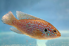 African jewelfish (Hemichromis bimaculatus) Stock Photo