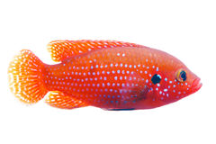African jewelfish Stock Image