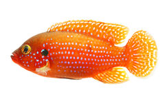 African jewelfish Royalty Free Stock Photos