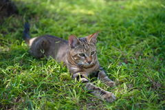 African Jungle Cat. Jungle cat resting in the open area Royalty Free Stock Photography