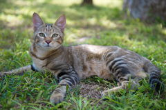African Jungle Cat. Jungle cat resting in the open area Stock Images
