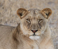 African Kalahari Lioness Royalty Free Stock Images