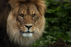 The African King. Closeup of a beautiful African Lion looking at the viewer Royalty Free Stock Image