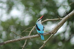 African Kingfisher Royalty Free Stock Image