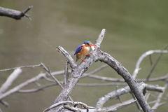 African Kingfisher Stock Photo
