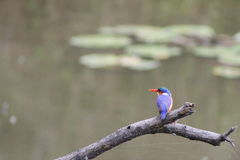 African Kingfisher Stock Images